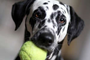 Dalmation with Tennis Ball