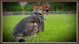 Schutzhund IPO Group class Houston
